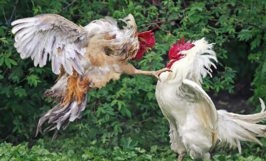 Judi Sabung Ayam Masih Jadi Andalan Penjudi Indonesia